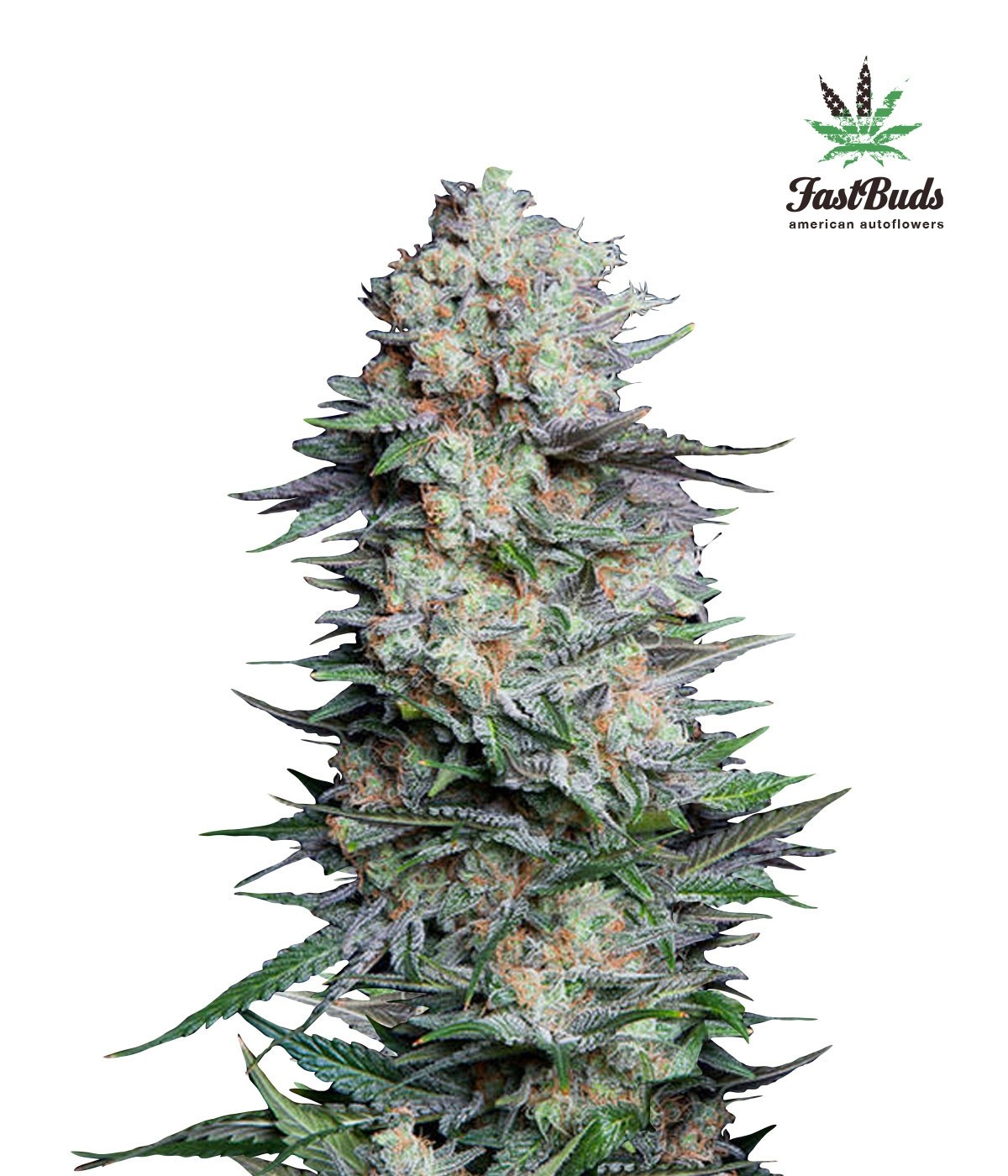 Mexican Airlines Auto Feminised Seeds