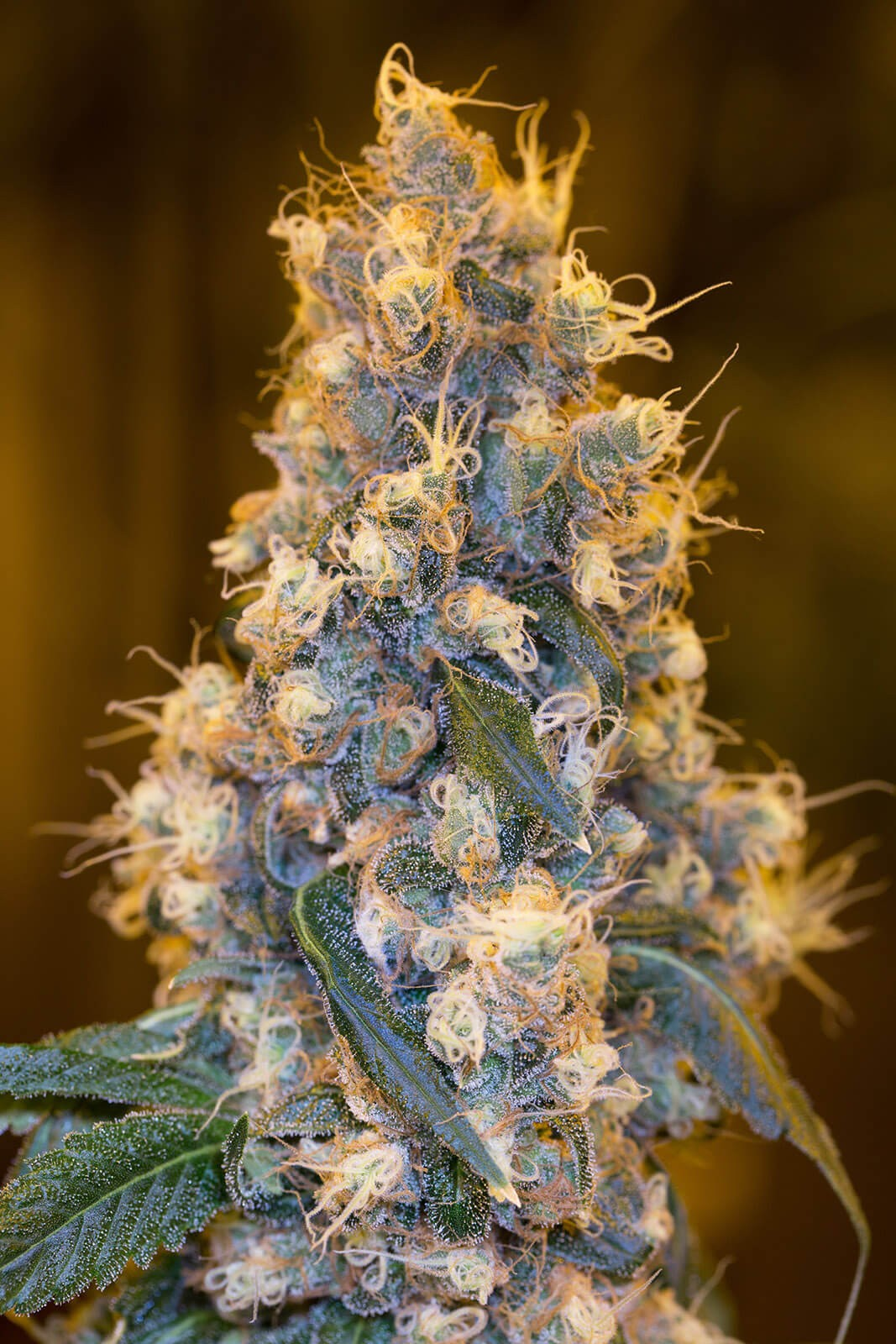 Blue Fire Feminised Seeds