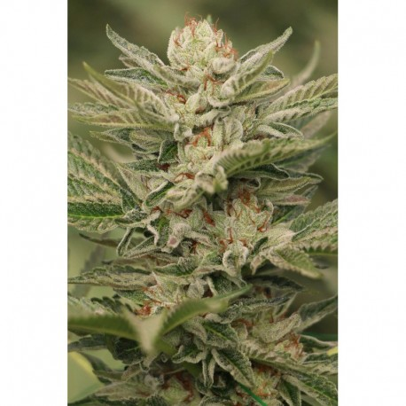 Sapphire Scout Feminised Seeds
