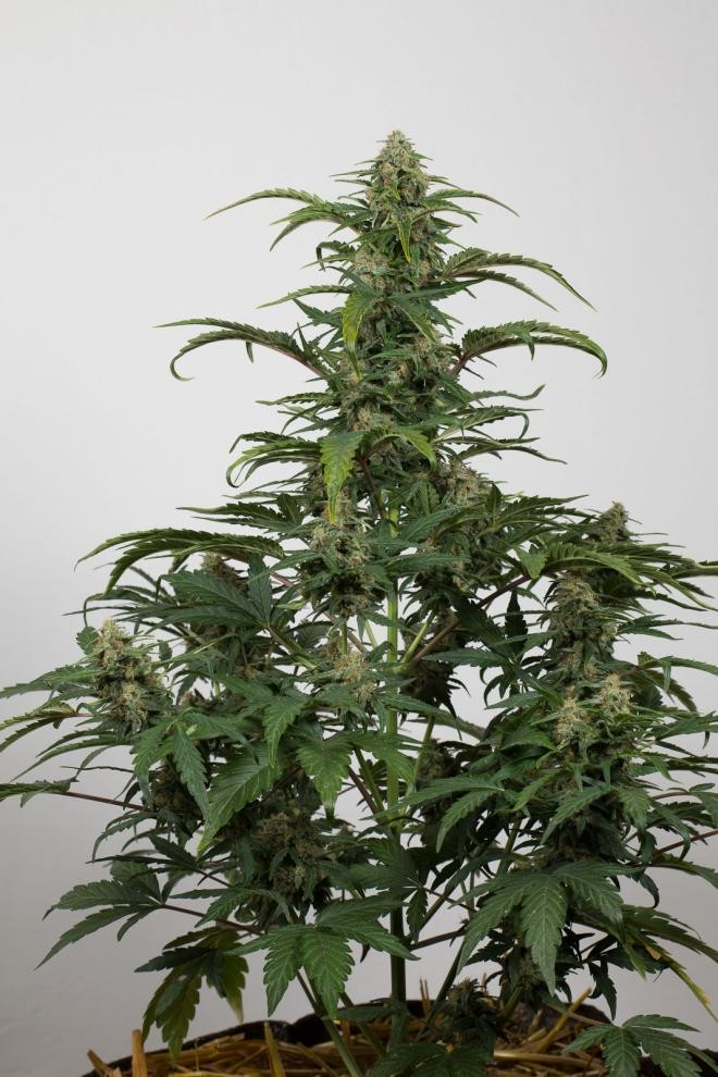 Dinamed CBD Auto Feminised Seeds