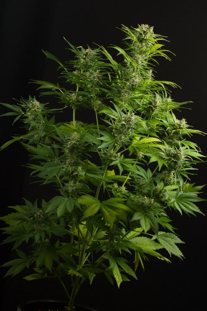 Haze XXL Auto Feminised Seeds