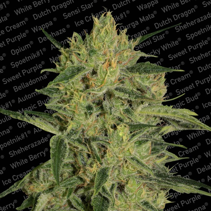 Nebula II CBD Feminised Seeds