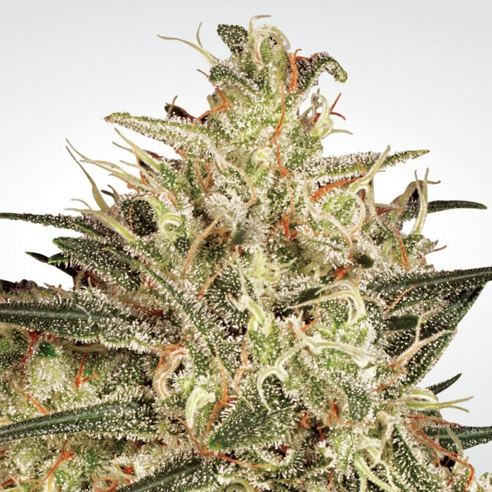 Atomical Haze Feminised Seeds