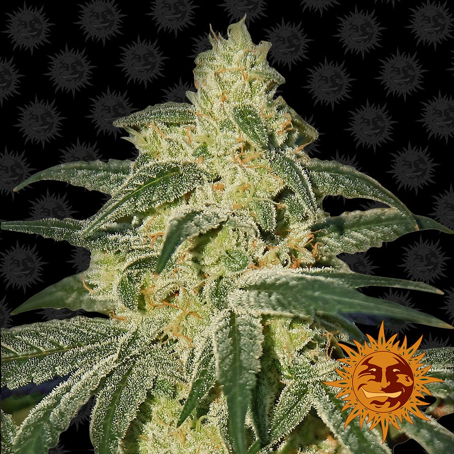 Afghan Hash Plant Regular Seeds - 10