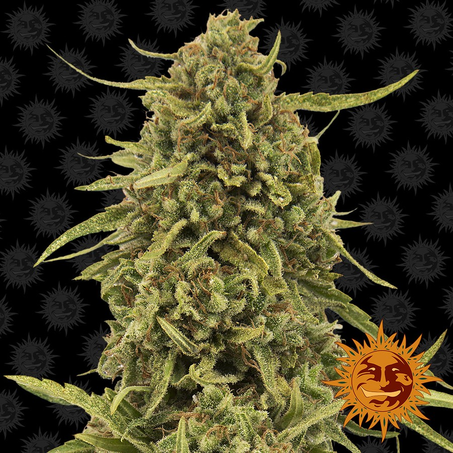 Widow Remedy Regular Seeds