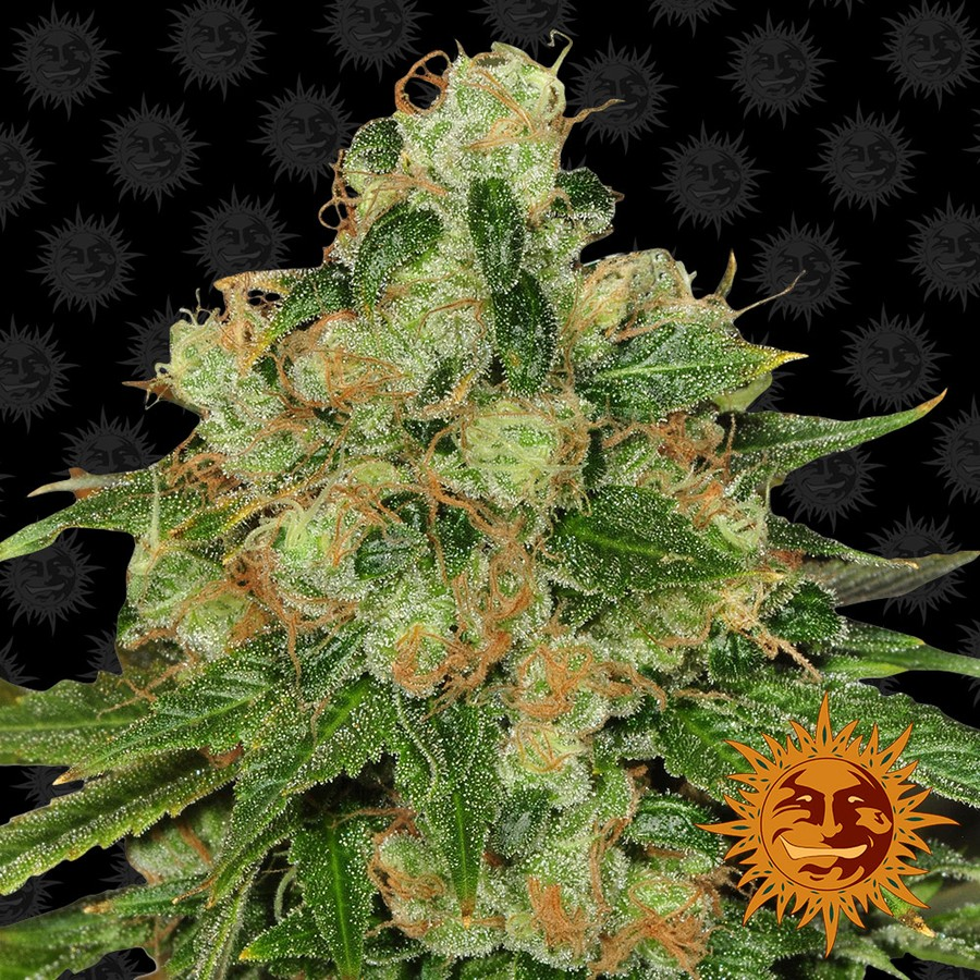 CBD Caramel Regular Seeds - 10