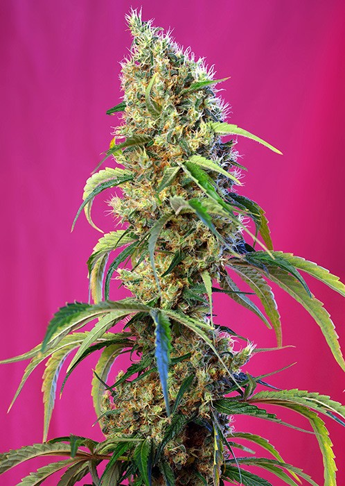 Black Jack CBD Feminised Seeds