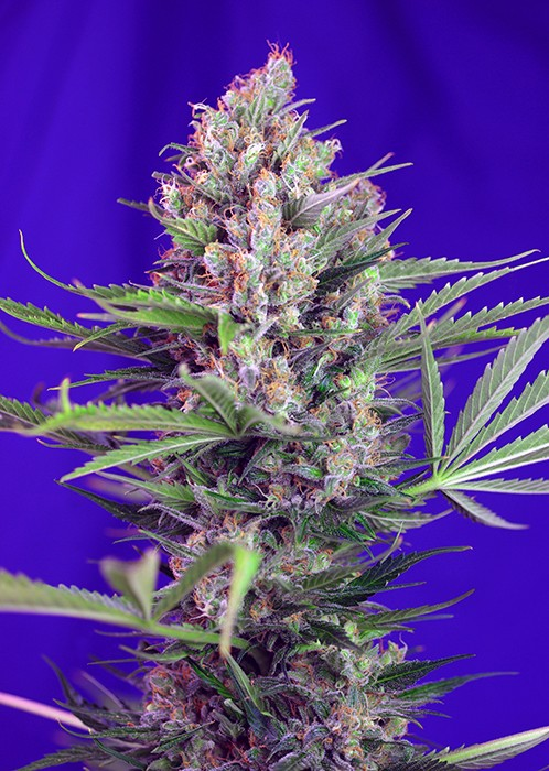 Cream Mandarine FAST Version Feminised Seeds