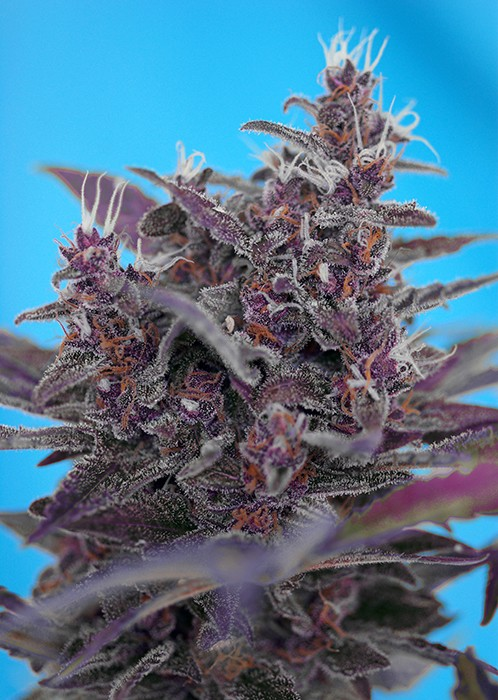 Black Cream Auto Feminised Seeds