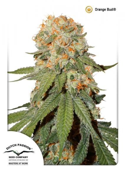 Orange Bud Regular Seeds - 10