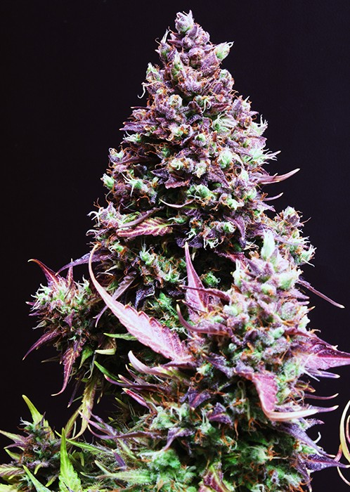 Caramel Cream Auto Feminised Seeds