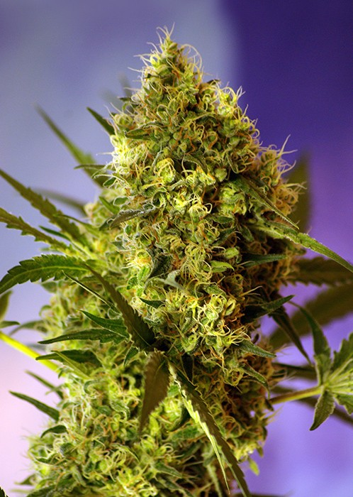 Big Devil 2 Auto Feminised Seeds