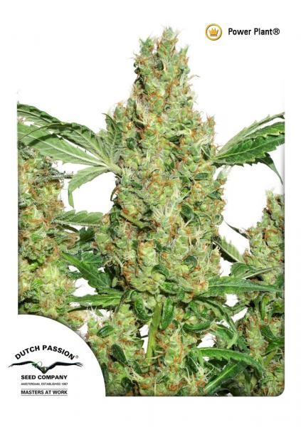 Power Plant Regular Seeds - 10