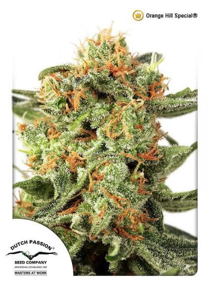 Orange Hill Special Regular Seeds - 10