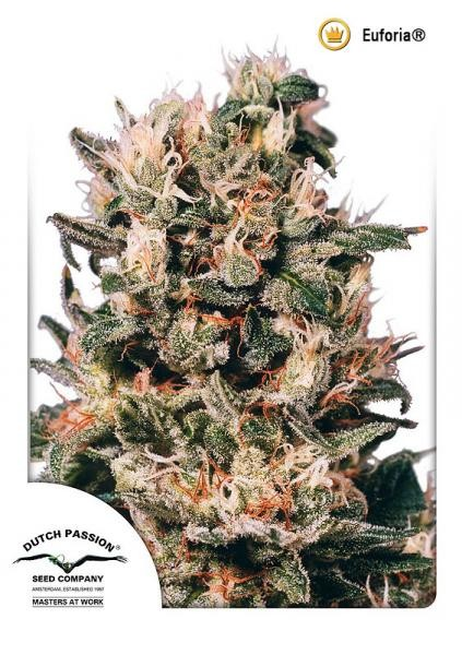 Euforia Regular Seeds - 10