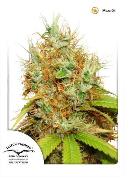 Mazar Regular Seeds - 10