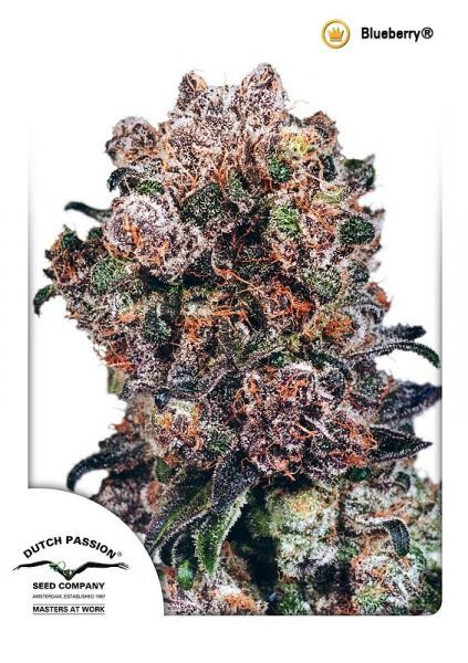 Blueberry Regular Seeds - 10