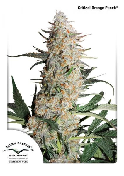 Critical Orange Punch Feminized Seeds
