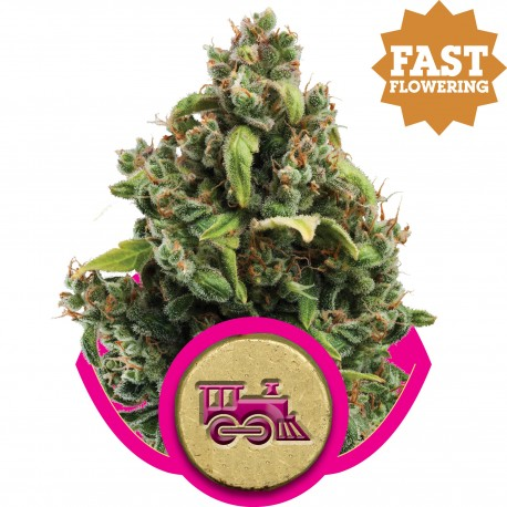Candy Kush Express FAST Feminised Seeds