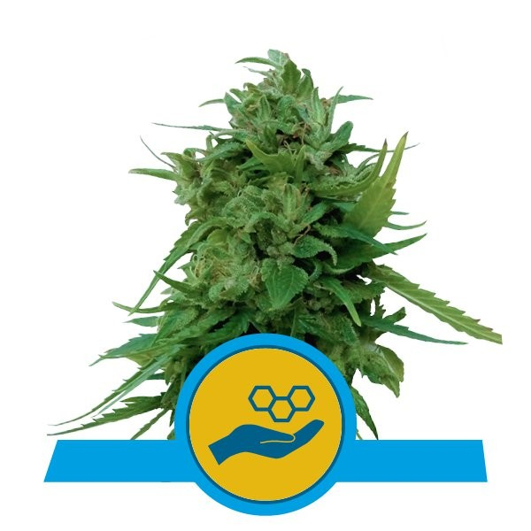 Solomatic CBD Auto Feminised Seeds