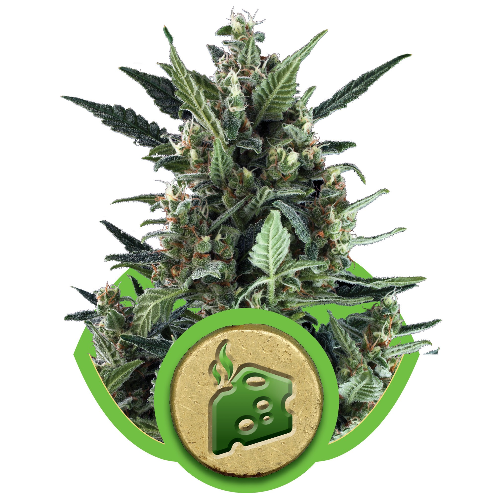 Blue Cheese Auto Feminised Seeds