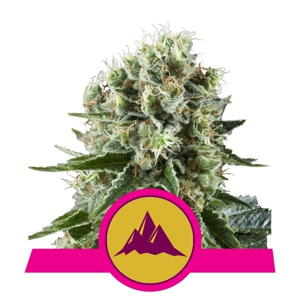 Critical Kush Feminised Seeds