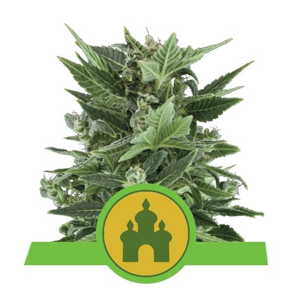 Royal Kush Auto Feminised Seeds