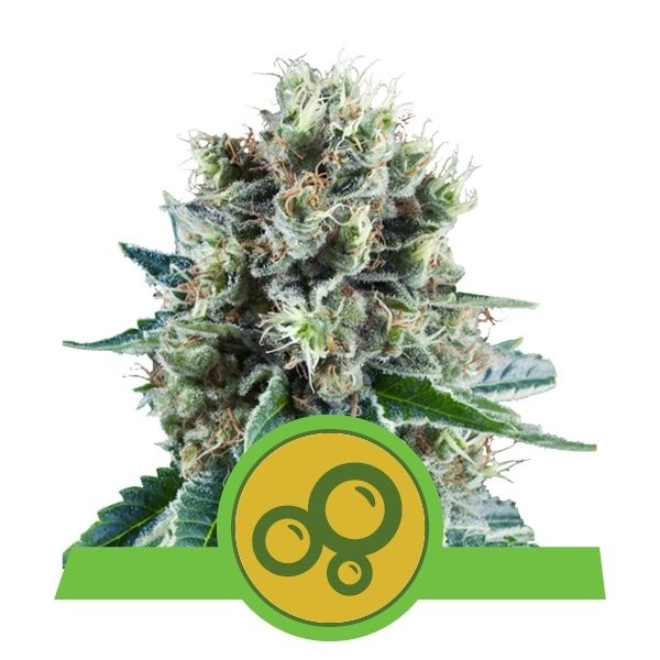 Bubble Kush Auto Feminised Seeds