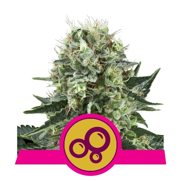 Bubble Kush Feminised Seeds