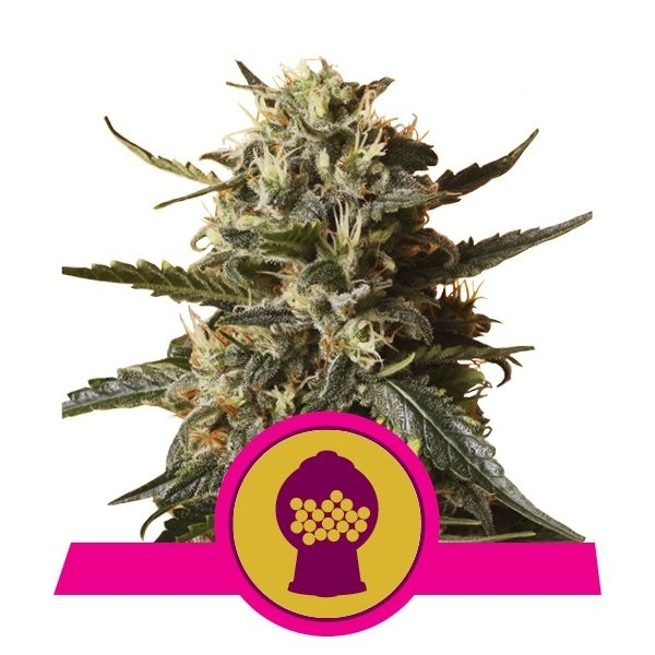 Bubblegum XL Feminised Seeds