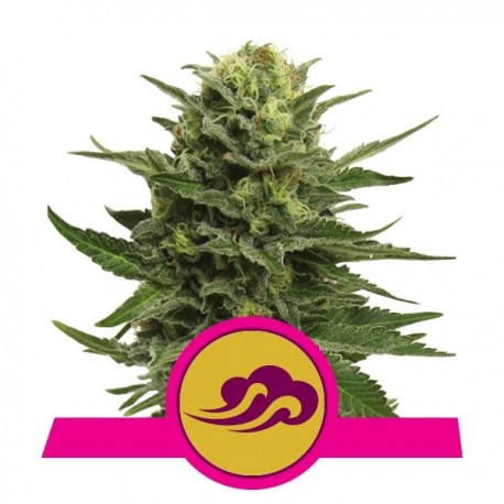 Blue Mystic Feminised Seeds