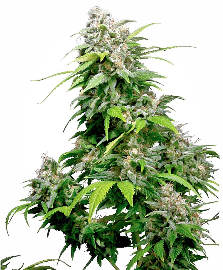 Californian Indica Regular Seeds - 10