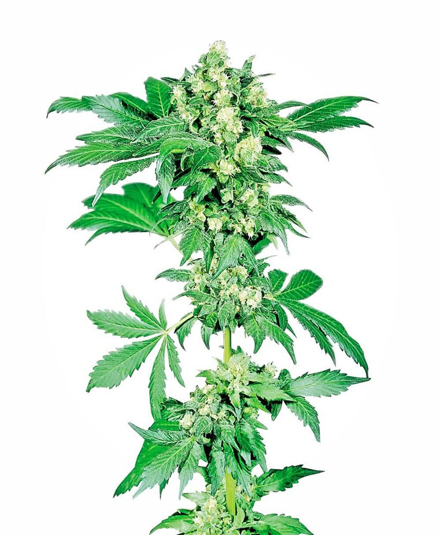 Afghani 1 Feminised Seeds