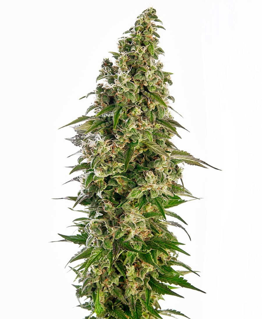 Afghani 1 Auto Feminised Seeds