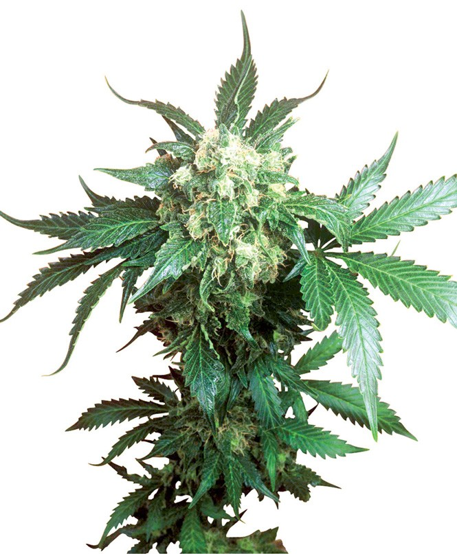 Black Domina Feminised Seeds