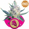 Royal Cheese Fast Flowering Bulk Seeds