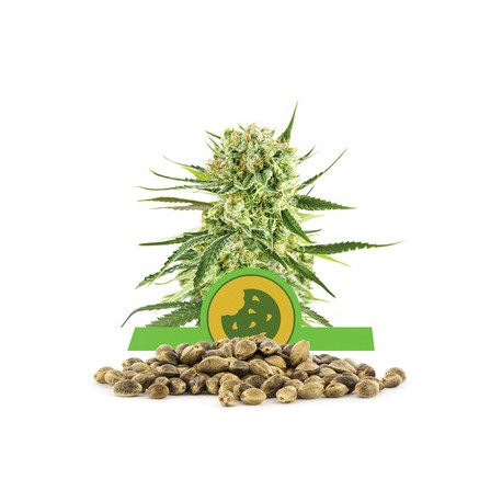 Royal Cookies Automatic Bulk Seeds